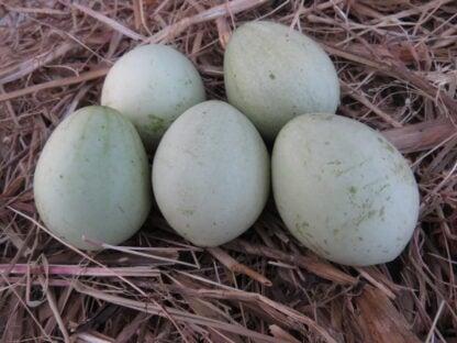 Kars Yumurtası