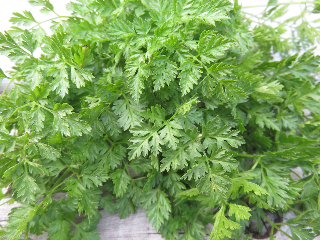 The Best Strategy To Use For Does Chervil Have Seeds